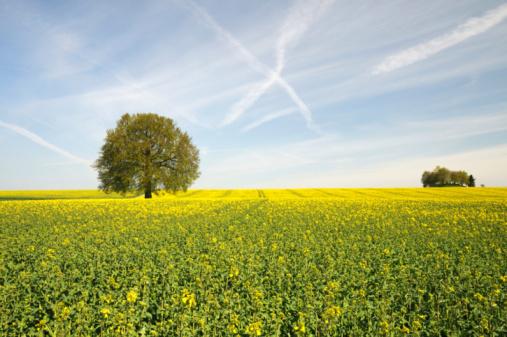 アブラナ「可愛らしい春のクレイジーな空」:スマホ壁紙(19)