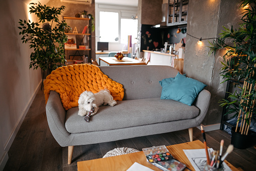 Carefree「Cute Maltese dog relaxing on sofa and chewing his toy at modern living room」:スマホ壁紙(2)