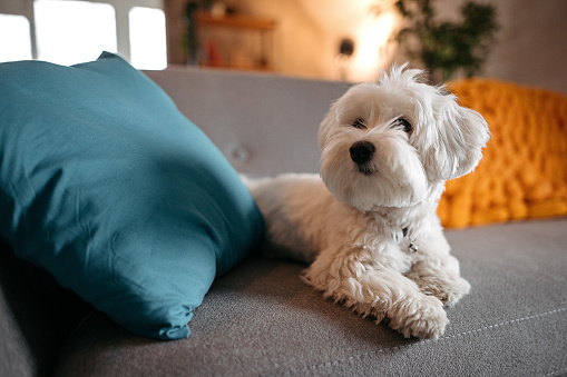 Domestic Animals「Cute Maltese dog relaxing on sofa at modern living room」:スマホ壁紙(8)