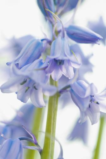 Bluebell「Bluebell flowers」:スマホ壁紙(14)