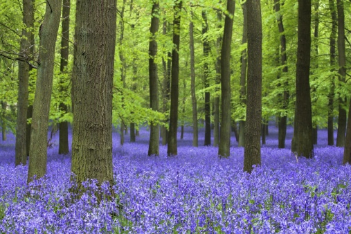 Bluebell「Bluebell flowers in woodlands, Ashridge Estate, Hertfordshire, UK, spring」:スマホ壁紙(11)