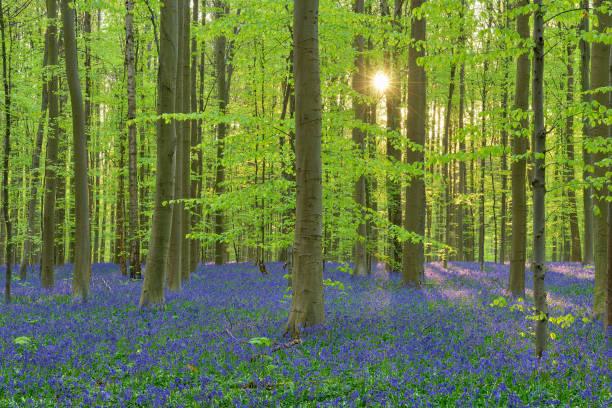 Bluebell flowers (Hyacinthoides non-scripta) carpet hardwood beech forest in early spring. Halle, Hallerbos, Brussels, Vlaanderen (Flanders), Belgium, Europe.:スマホ壁紙(壁紙.com)