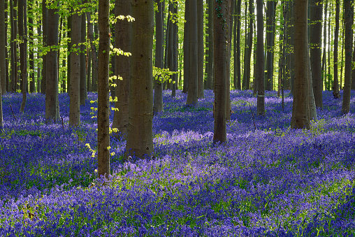 Bluebell「Bluebell flowers (Hyacinthoides non-scripta) carpet hardwood beech forest in early spring. Halle, Hallerbos, Brussels, Vlaanderen (Flanders), Belgium, Europe.」:スマホ壁紙(13)