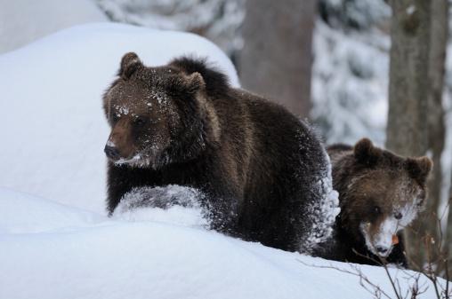 Full Length「Two Eurasian brown bears (Ursus arctos arctos) in snow」:スマホ壁紙(0)