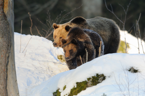Bayerischer Wald National Park「Two Eurasian brown bears (Ursus arctos arctos) in snow」:スマホ壁紙(14)