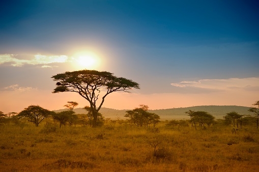 Safari「Acacias trees in the sunset in Serengeti, Africa」:スマホ壁紙(1)