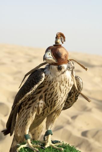 Hawk - Bird「Eleonora's Falcon (Falco eleonorae) on birch in Dubai desert. Dubai, UAE」:スマホ壁紙(18)