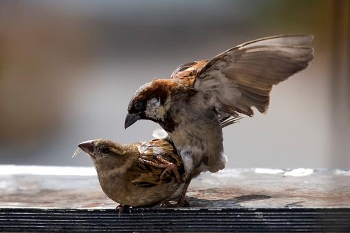 Dethan Punalur「Sparrows mating 4」:スマホ壁紙(1)