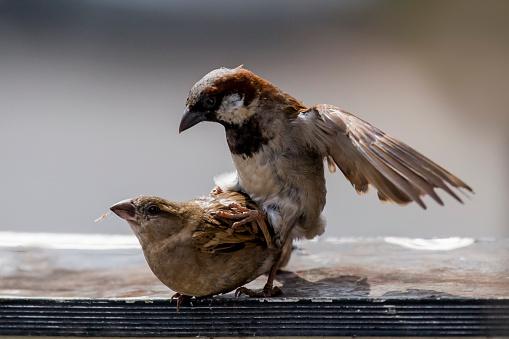 Dethan Punalur「Sparrows mating 3」:スマホ壁紙(2)