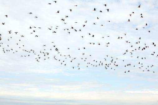 Flock Of Birds「a flock of wild dugs flying in the air」:スマホ壁紙(1)