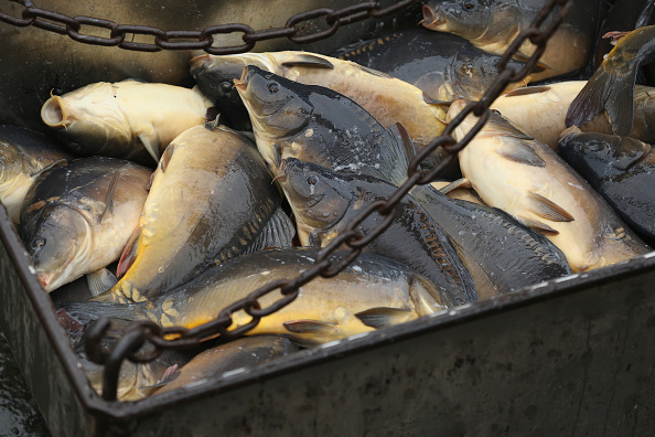 Fisherman「Fisheries Harvest Christmas Carp」:写真・画像(6)[壁紙.com]
