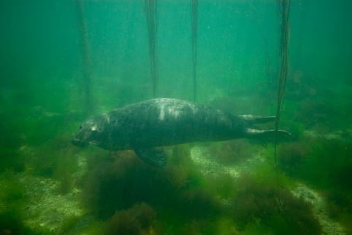 Shallow「Grey seal (Halichoreus grypus) young female, Bretagne, France, Atlantic Ocean」:スマホ壁紙(2)