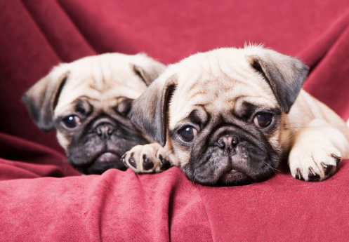 Headshot「Pugs sitting on sofa」:スマホ壁紙(5)
