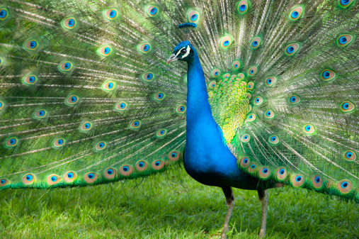 Showing Off「An elegant male peacock in full display」:スマホ壁紙(14)