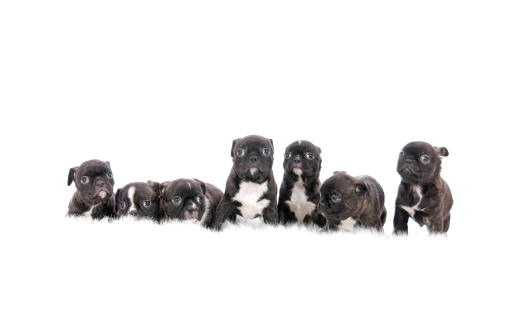 Large Group Of Animals「Group Of Puppies On White Background」:スマホ壁紙(9)