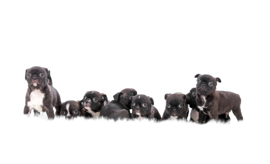 Large Group Of Animals「Group Of Puppies On White Background」:スマホ壁紙(12)