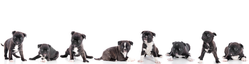Large Group Of Animals「Group Of Puppies On White Background」:スマホ壁紙(11)