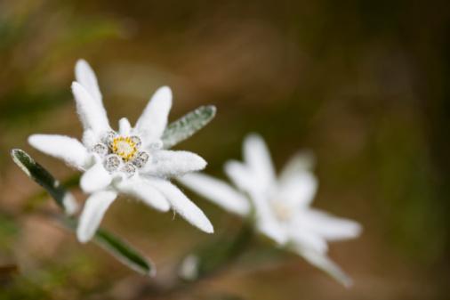 Edelweiss - Flower「Austria, Edelweiss flowers (Leontopodium alpinum)」:スマホ壁紙(14)