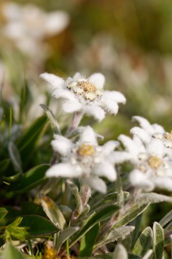 Edelweiss - Flower「Austria, Edelweiss flowers, close up」:スマホ壁紙(13)
