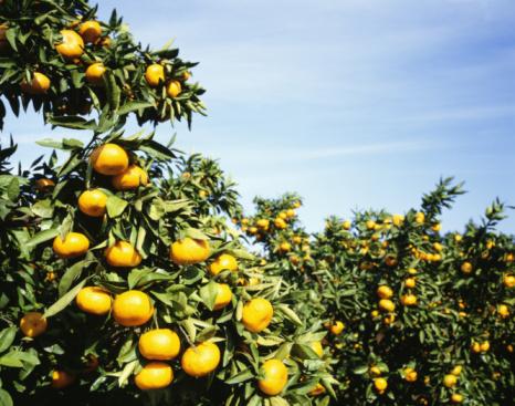 Kanagawa Prefecture「Mandarin orange orchard. Fukawa, Kanagawa Prefecture, Japan」:スマホ壁紙(1)