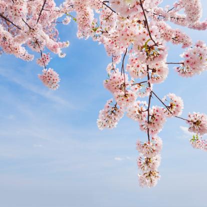 桜「USA, Washington DC, Cherry tree in blossom」:スマホ壁紙(10)