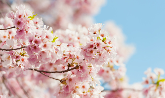 桜「USA, Washington DC, Cherry tree in blossom」:スマホ壁紙(5)