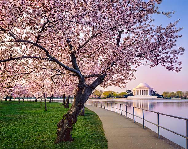 Washington DC cherry trees, footpath, Tidal Basin lake, Jefferson Memorial:スマホ壁紙(壁紙.com)