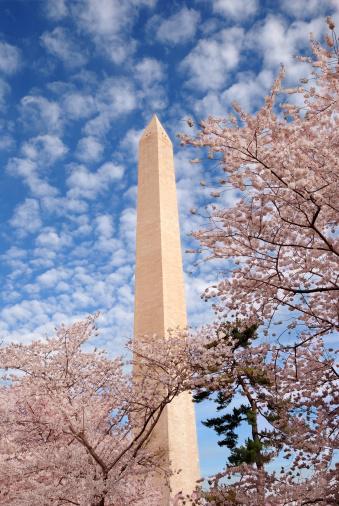 Sakura Matsuri「Washington Monument during Spring Cherry Blossom Festival」:スマホ壁紙(13)