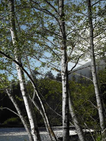 Hoh River Valley「USA, Washington, Olympic National Park, trees beside Hoh River」:スマホ壁紙(7)