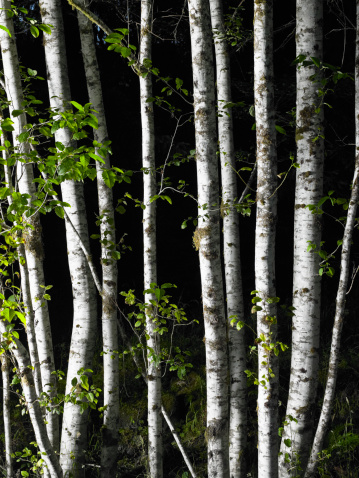 Hoh River Valley「USA, Washington, Olympic National Park, trees in Hoh Rainforest」:スマホ壁紙(6)