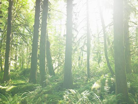 Hoh River Valley「USA, Washington, Olympic National Park, sunlight in Hoh Rainforest」:スマホ壁紙(4)
