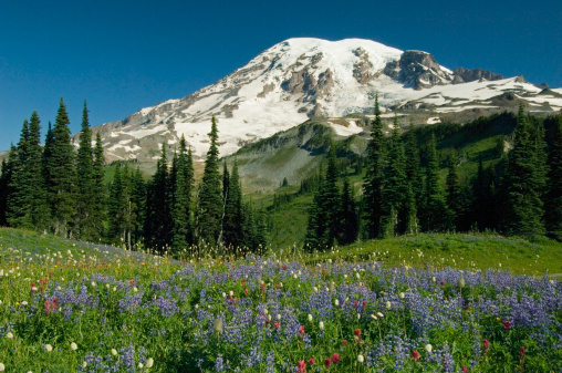 レーニア山国立公園「USA, Washington, Mt. Rainier and field of wildflowers, summer」:スマホ壁紙(13)