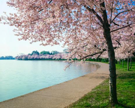 Cherry Blossoms「Washington DC cherry bloosoms, curved walkway and tidal basin」:スマホ壁紙(5)