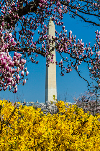 桜「Washington Monument on spring with Magnolia blooms and Forsythia blooming, Washington DC, USA」:スマホ壁紙(17)