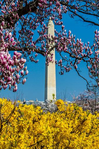 桜「Washington Monument on spring with Magnolia blooms and Forsythia blooming, Washington DC, USA」:スマホ壁紙(16)