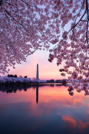 桜「ワシントンモニュメントの日の出で囲まれた桜-XXXL」:スマホ壁紙(18)