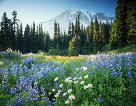 Wildflower「USA, Washington, Mount Rainier National Park, Mt. Rainier and flower m」:スマホ壁紙(4)
