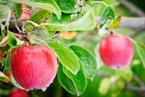 リンゴの木「ワシントン州アップルから垂れ下がるツリー」:スマホ壁紙(12)