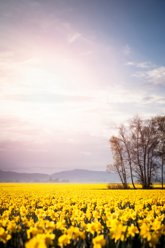 水仙「USA, Washington, Skagit Valley, Landscape with daffodil field」:スマホ壁紙(14)