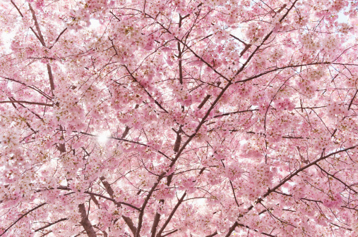flower「USA, Washington DC, Cherry blossom」:スマホ壁紙(15)