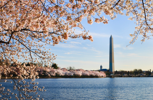 Cherry Blossoms「Washington DC cherry blossoms and monument」:スマホ壁紙(19)