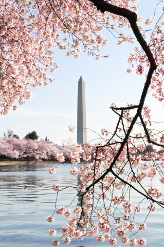 Cherry Blossoms「Washington DC cherry blossoms and monument」:スマホ壁紙(18)