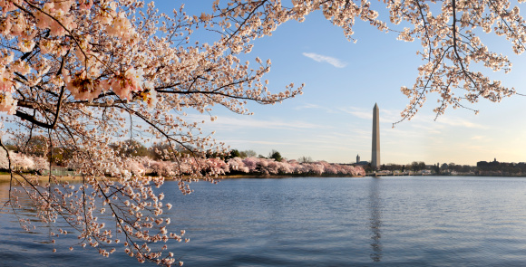Cherry Blossoms「Washington DC cherry blossoms and monument」:スマホ壁紙(16)