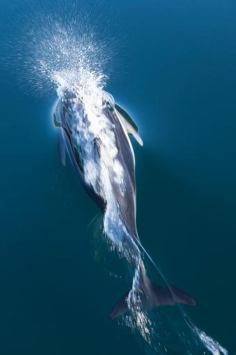 イルカ「Pacific white-sided dolphin (Lagenorhynchus obliquidens) playing in clear waters of Johnstone Strait, British Columbia, Canada」:スマホ壁紙(2)