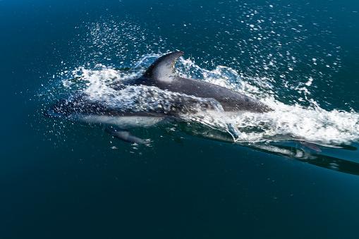 イルカ「Pacific white-sided dolphin (Lagenorhynchus obliquidens) playing in clear waters of Johnstone Strait, British Columbia, Canada」:スマホ壁紙(4)