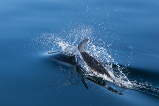 イルカ「Pacific white-sided dolphin (Lagenorhynchus obliquidens) playing in clear waters of Johnstone Strait, British Columbia, Canada」:スマホ壁紙(3)