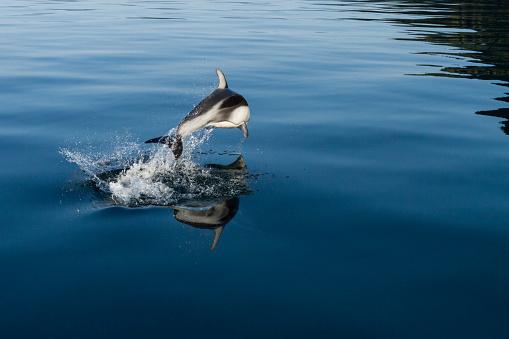 イルカ「Pacific white-sided dolphin (Lagenorhynchus obliquidens) playing in clear waters of Johnstone Strait, British Columbia, Canada」:スマホ壁紙(5)