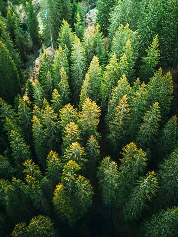 Spruce Tree「pine tree forest in switzerland」:スマホ壁紙(4)