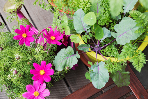 Cosmos Flower「Flowers and vegetables growing on balcony garden」:スマホ壁紙(17)
