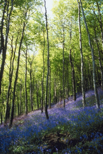 Bluebell Wood「Flowers and trees in forest」:スマホ壁紙(15)